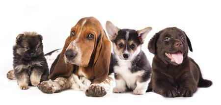 reverie: Basset Hound and corgi, labrador, dog,  pomeranian puppies Stock Photo