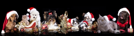 wiener dog: dog and cat and kitens wearing a santa hat Stock Photo