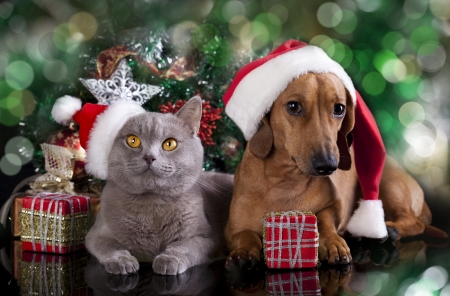 christmas fun: British kitten and dog dachshund Stock Photo