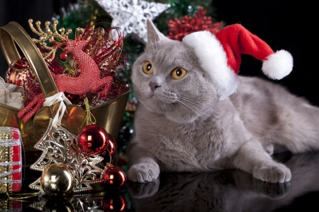 cristmas card: British cat in a santa hat Stock Photo