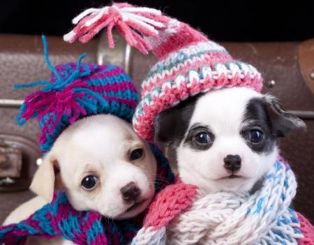 チワワの子犬のカップル ニット帽子をかぶっています。 写真素材