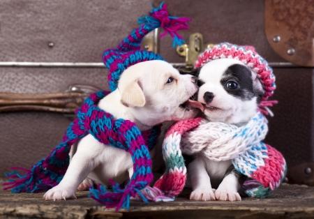 animalitos tiernos: chihuahua cachorros pareja llevaba un gorro de lana