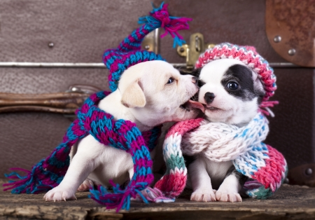 chihuahua puppies couple wearing a knit hat photo