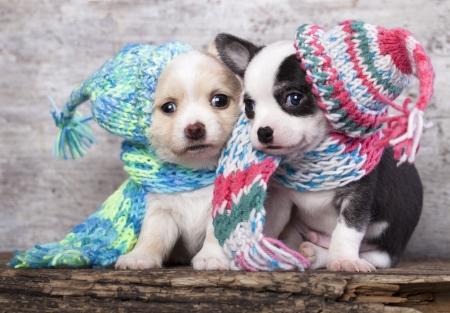 ニット帽子をかぶっている子犬 写真素材