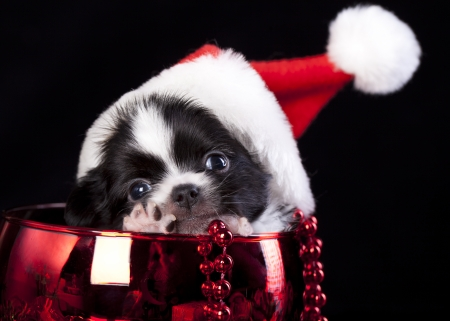 christmas puppy  wearing a santa hat photo
