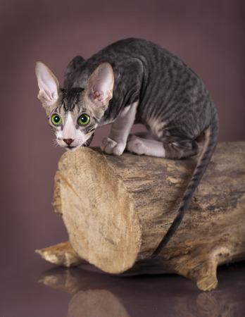 cornish: Cornish rex kitten, 3 months
