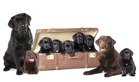 black labrador: Labrador puppies litter, dog family