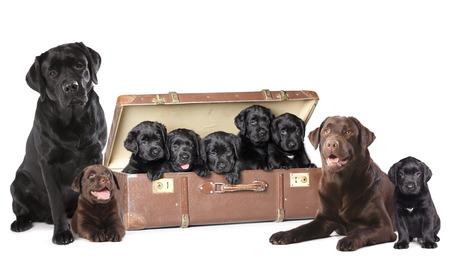 black labrador: Labrador puppies litter, dog family