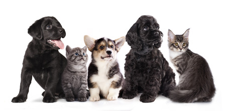 puppy and kitten , Group of cats and dogs in front of white background photo