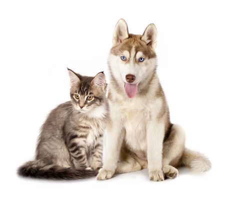Siberian Husky and cat breeds Maine Coon, Cat and dog Archivio Fotografico