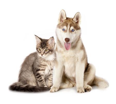 Siberische Husky en kattenrassen Maine Coon, kat en hond Stockfoto - 26823172