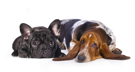 french bulldog and basset Hound photo