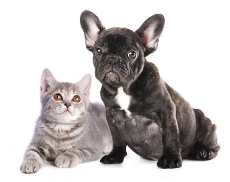 Cat and dog, British kitten and French Bulldog puppy photo