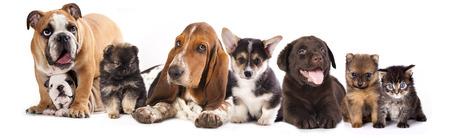 バセットハウンドとラブラドール、コーギー犬, ポメラニアン子犬 写真素材