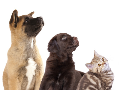 Cat and dog, group of dogs and kitten  looking up Banque d'images