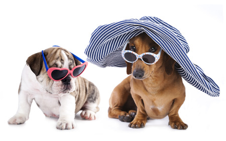 stitting: Portrait of Dachshund and english bulldog puppy in sunglasses