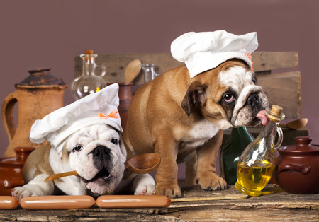 english Bulldog puppies in chef Archivio Fotografico