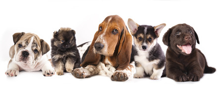 Group of Puppies, Basset Hound and corgi, labrador,  pomeranian puppies, english bulldog Stock Photo