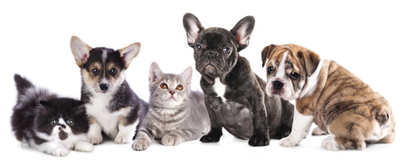 british bulldog: Cat and dog, British kitten and French Bulldog puppy