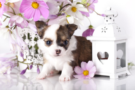 cynology: Chihuahua puppy portrait with pink flowers Stock Photo