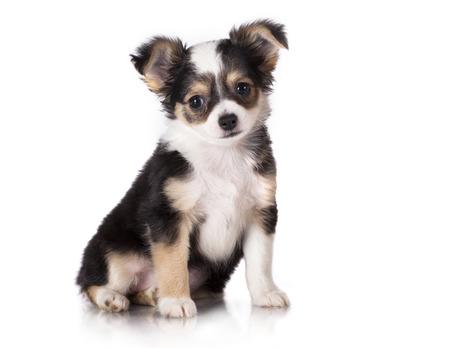 Chihuahua puppy sitting, looking at the camera photo