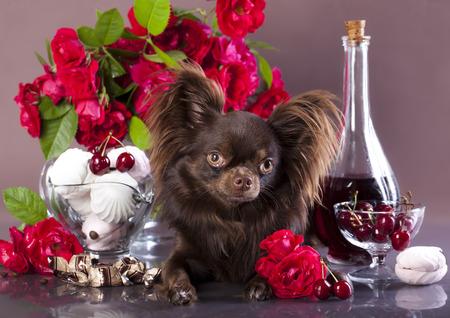 chiwawa: chihuahua,  chocolate color  Stock Photo