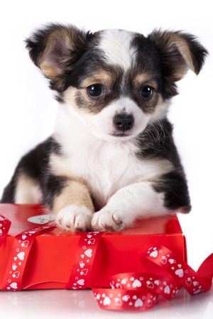 Chihuahua puppy hua protects gift photo