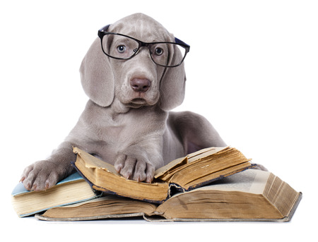 purebred dog: weimaraner puppy wearing glasses with books