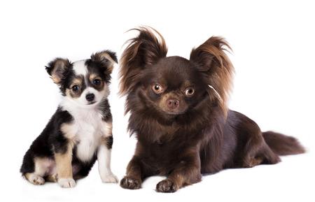 chiwawa: Chihuahua dogs