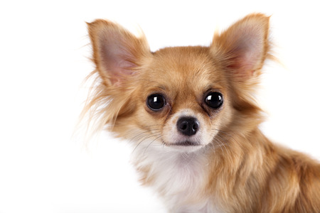long haired: portrait of long-haired Chihuahua hua Stock Photo
