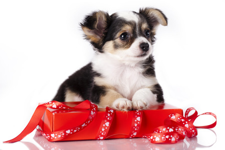 chihuahua and  gift packaging photo