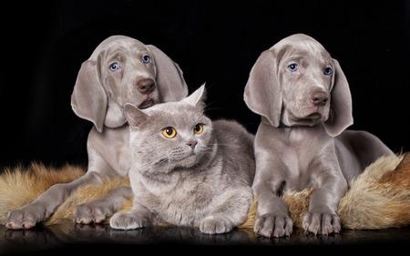 amor adolescente: cachorro weimaraner y gato brit�nico Foto de archivo