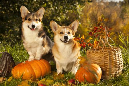 ウェルシュ ・ コーギー ・ ペンブローク犬 写真素材