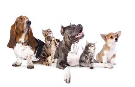 brown white: Group of dogs and kitens  sitting in front of a white background Stock Photo