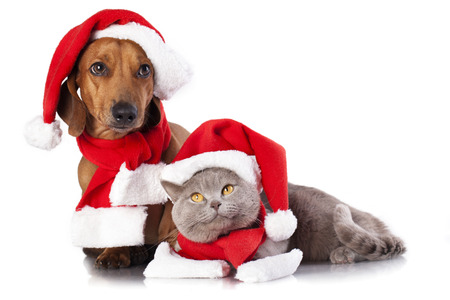 dog and cat and british cat wearing a santa hat