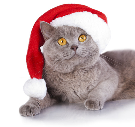christmas pussy: cat wearing a santa hat on white background