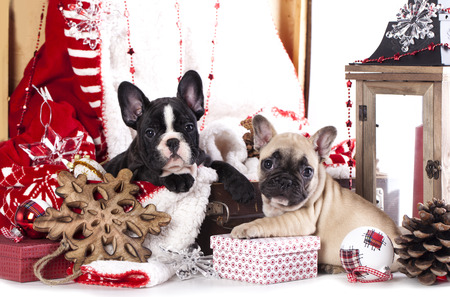 hristmas: puppy сhristmas French Bulldog