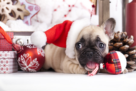 pet  animal: puppy christmas French Bulldog Stock Photo