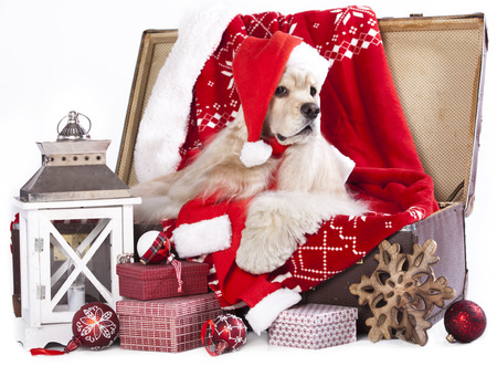 doxie: christmas dog wearing a santa hat