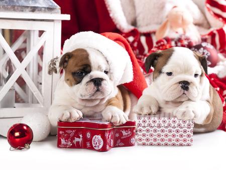 distressing: puppies christmas english bulldog
