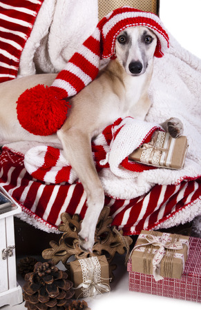 dog christmas: whippet wearing a gnome hat Stock Photo