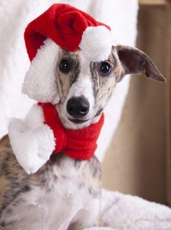 doxie: dog  whippet wearing a santa hat