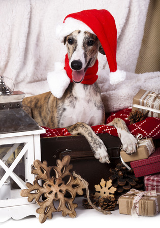 dog  whippet wearing a santa hat photo