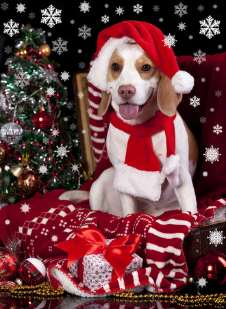 dog in a Santa Claus hat and present photo