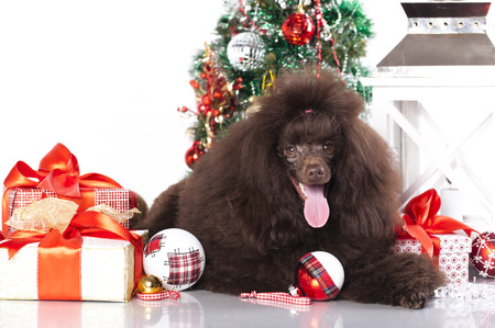labrador christmas: puppy christmas toy poodle