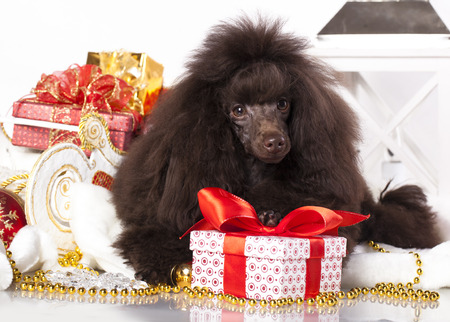 pet new years new year pup: puppy christmas toy poodle