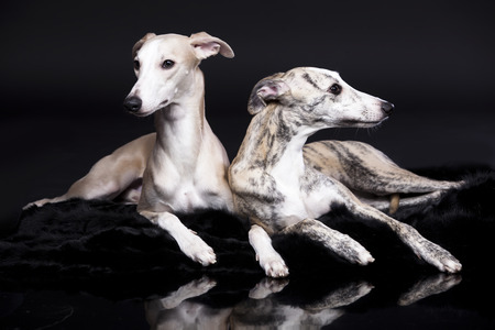 animal themes: whippets posing on a black background Stock Photo