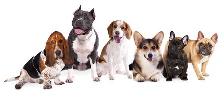 group of dogs,  welsh corgi, beagle, basset photo