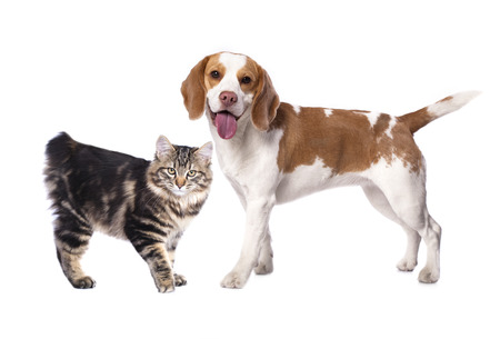 dreaminess: Cat and dog, Kuril Bobtail and beagle