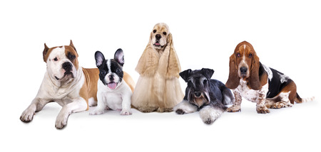 miniature dog: Group of  dogs sitting in front of a white background
